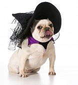 foto of sorcerer  - french bulldog wearing witch costume - JPG