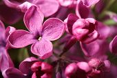 pic of lilac bush  - Bright pink lilac blooming with flowers and buds macro horizontal - JPG