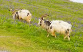 foto of billy goat  - British Primitive goat breed feral with large horns and beard white grey and black and bluebells - JPG