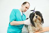 foto of veterinary surgery  - male veterinarian surgeon worker treating examining west highland white terrier dog in veterinary surgery clinic - JPG