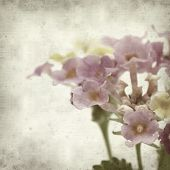 foto of lantana  - textured old paper background with pink and yellow Lantana flowers - JPG