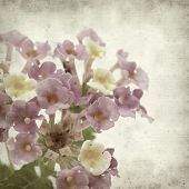 image of lantana  - textured old paper background with pink and yellow Lantana flowers - JPG