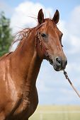 pic of bridle  - Nice Budyonny horse with bridle standing on meadow - JPG