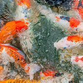 picture of koi fish  - Colorful Koi or carp chinese fish in water - JPG
