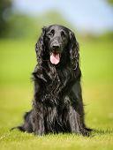 Purebred Flat-coated Retriever Dog poster