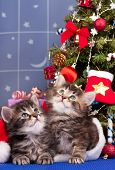 stock photo of puss  - Cute siberian kittens near Christmas spruce with gifts over blue background - JPG
