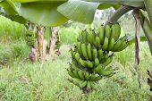 stock photo of banana tree  - Banana trees in a Kenyan garden with fresh green bananas - JPG