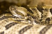 stock photo of timber rattlesnake  - Measuring from 3 - JPG