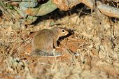 picture of dwarf  - Common dwarf mongoose  - JPG