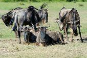 foto of wildebeest  - Wildebeest in the National Reserve of Africa Kenya - JPG