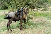 stock photo of wildebeest  - Wildebeest in the National Reserve of Africa Kenya - JPG