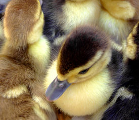 stock photo of honkers  - Several cute small ducks with one fully visible in the middle  - JPG
