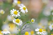 stock photo of daisy flower  - daisy flowers focal point on camera in daisy flower during the focus blurred background - JPG