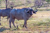 picture of cape buffalo  - the Wild African Buffalo  in Kenya - JPG