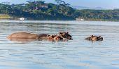 image of amphibious  - Group of hippopotamus in water - JPG
