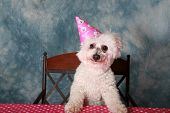 stock photo of pure-breed  - Jolie a Pure Breed Bichon Frise dog celebrates her 12th Birthday - JPG