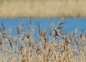stock photo of tit  - Small shy bird Male Bearded Tit or Bearded Reedling at Pett Level East Sussex - JPG