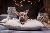 stock photo of chihuahua  - Chihuahua dog lying on pillows  on a studio background - JPG