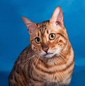 picture of bengal cat  - Red Bengal cat sitting on blue background - JPG