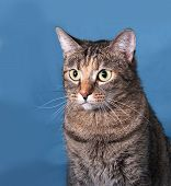 stock photo of blue tabby  - Tabby nice  cat sitting on blue background - JPG
