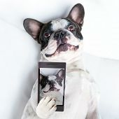 foto of bulldog  - French bulldog taking a selfie with cell phone camera  - JPG