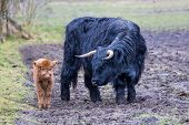 foto of calf cow  - Black mother scottish highlander cow standing near newborn brown calf in spring meadow - JPG
