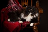 Black purebred Siberian cat lying on a chair poster
