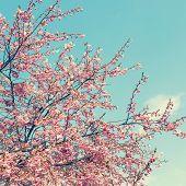 pic of sakura  - flowers sakura cherry blossoms in the spring of fog - JPG