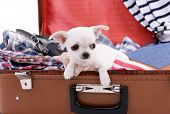 image of dog clothes  - Adorable chihuahua dog in suitcase with clothing close up - JPG