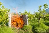 stock photo of prunes  - Pruned branches being burnt on a lemon plantation - JPG