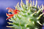 image of thorns  - Extreme macro close up of a green and red round succulent thorn with water drops and blue bokeh background - JPG
