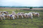 image of steppes  - A herd of sheep in steppe in Ninh Thuan - JPG