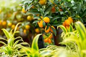 picture of kumquat  - Kumquat exposed for sale in the glasshouse store - JPG