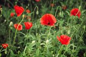 picture of corn  - Papaver rhoeas  - JPG