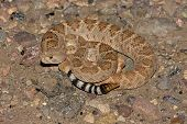 image of western diamondback rattlesnake  - Western Diamondback Rattlesnake  - JPG