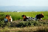picture of oxen  - Three bulls  - JPG