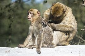 stock photo of macaque  - Barbary macaque in Gibraltar the only place in Europe to live in freedom - JPG