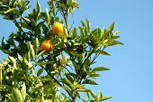 picture of orange-tree  - Oranges in the tree - JPG