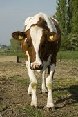 brown and white cow outdoor