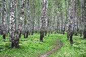 foto of birchwood  - Landscape with a green birchwood in July summer day - JPG