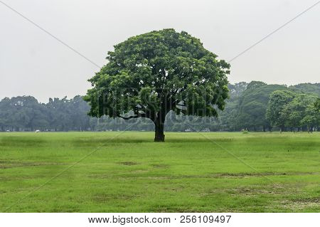 Old Oak Tree On Meadows