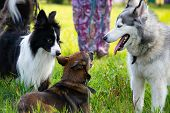 Dogs Play With Each Other. Siberian Husky. Border Collie. Merry Fuss. Aggressive Dog. Training Of Do poster