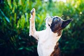 Give Me A Five - Friendship -  Boston Terrier Giving Five poster
