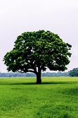 Old Oak Tree On Meadows. A Field On Which Grows One Beautiful Tall Oak Tree, A Summer Landscape In S poster