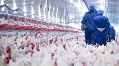 Poultry Farm With Broiler Breeder Chicken. Husbandry, Housing Business For The Purpose Of Farming Me poster