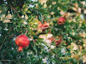 Ripe Colorful Pomegranate Fruits On Pomegranate Tree. Organic Pomegranate On Branch. Foliage And Red poster