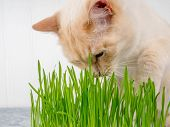 Cat Is Eating Fresh Green Grass. Cat Grass, Pet Grass. Natural Hairball Treatment, White, Red Pet Ca poster