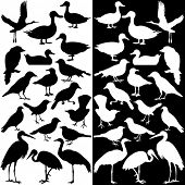picture of animal silhouette  - A vector collection of birds silhouettes  - JPG