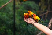 Sun Conure Parrots Are Eating Food On Human Hand. poster
