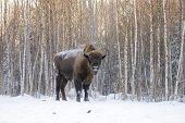 Mammals - European Bison Bison Bonasus In Winter Time poster
